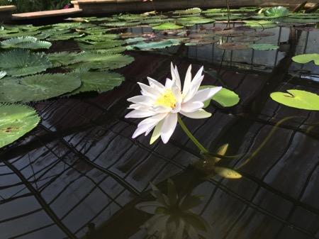 チェンマイ県クイーンシキリットボタニックガーデンの蓮の花 1