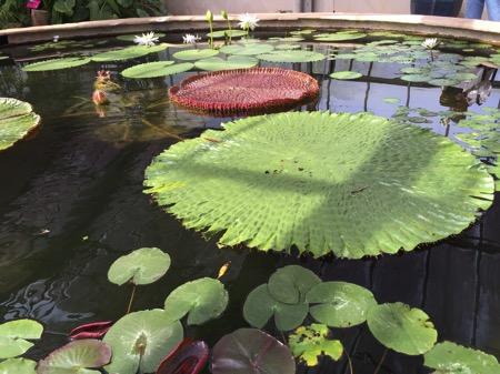 チェンマイ県クイーンシキリットボタニックガーデンの蓮の花 2