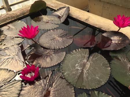 チェンマイ県クイーンシキリットボタニックガーデンの睡蓮のプラント 3