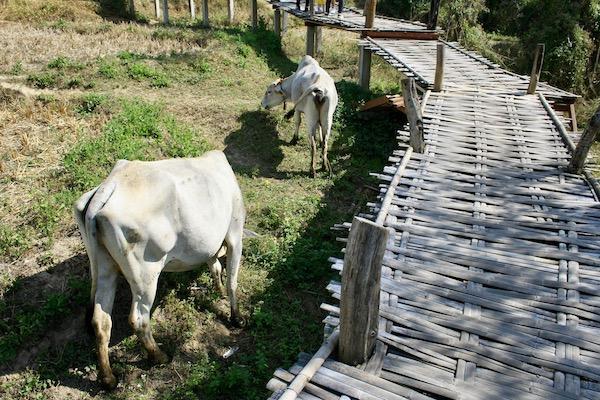パーイのバンブーブリッジで放牧されている牛