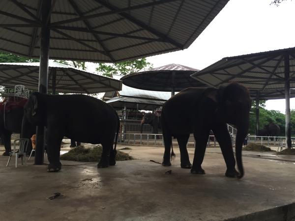 パタヤクロコダイルファームの象