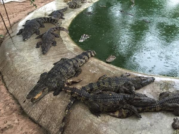 パタヤクロコダイルファームのワニ池