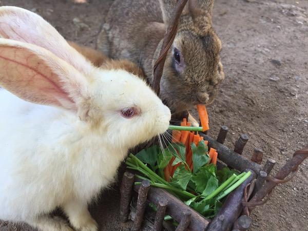 チェンマイのうさぎカフェで可愛いウサギをモフモフした結果