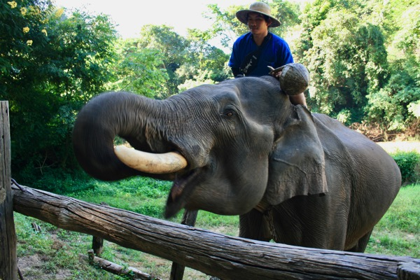 餌をあげるとキー キーって鳴く象