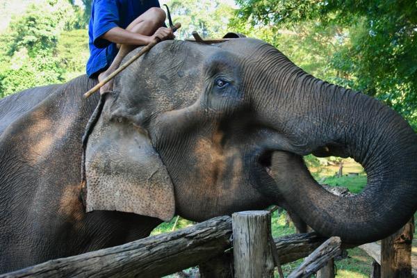 チェンダオ象訓練センターの象がバナナを食べて鳴く