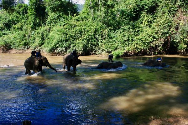 川の中で横たわり象使いにからだを洗っている象