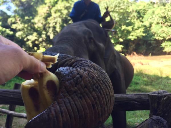 チェンダオ象訓練センターの象にバナナをあげる