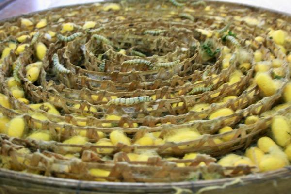 チェンマイのシルク作業場見学で繭(まゆ)を作るカイコ
