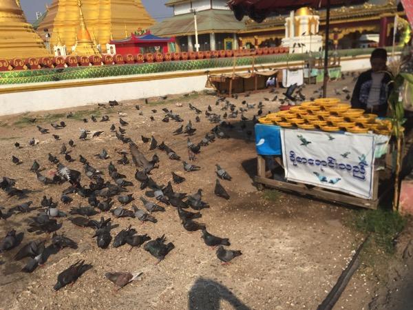 ミャワディ-ワットジェーディートーンの鳩