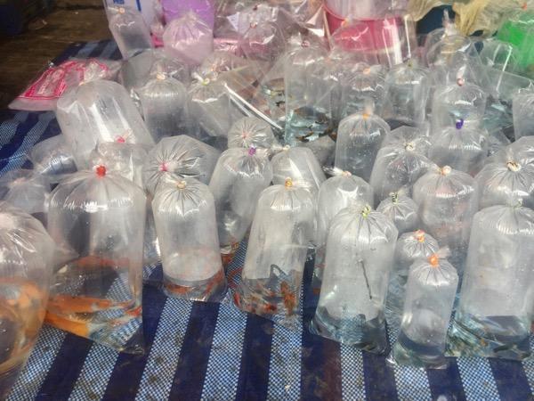 ムアンマイ市場で売っている金魚
