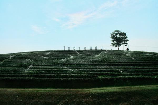 チェンライのチュイフォン茶畑