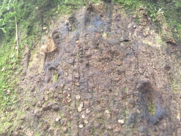 キウメーパンのでかいクマの足跡