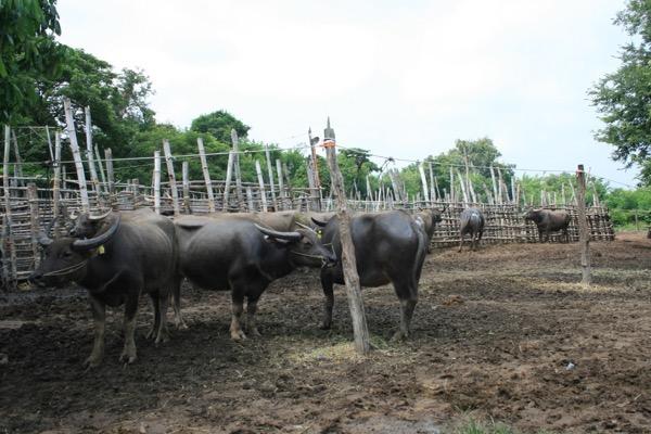 サンパトーン市場で売り買いされている水牛