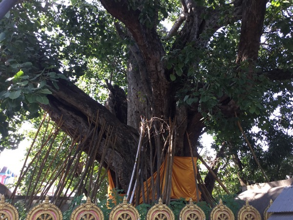 ワット・シークートのインドのブッダガヤからもたらされた菩提樹