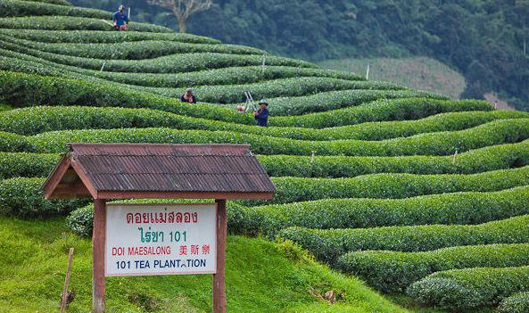 茶畑101