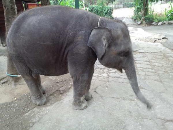 チェンマイ動物園の小象