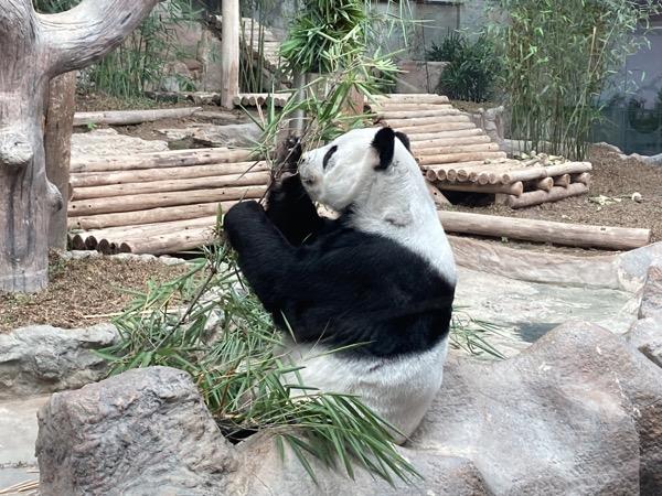 チェンマイ動物園の一番人気リンピンちゃん